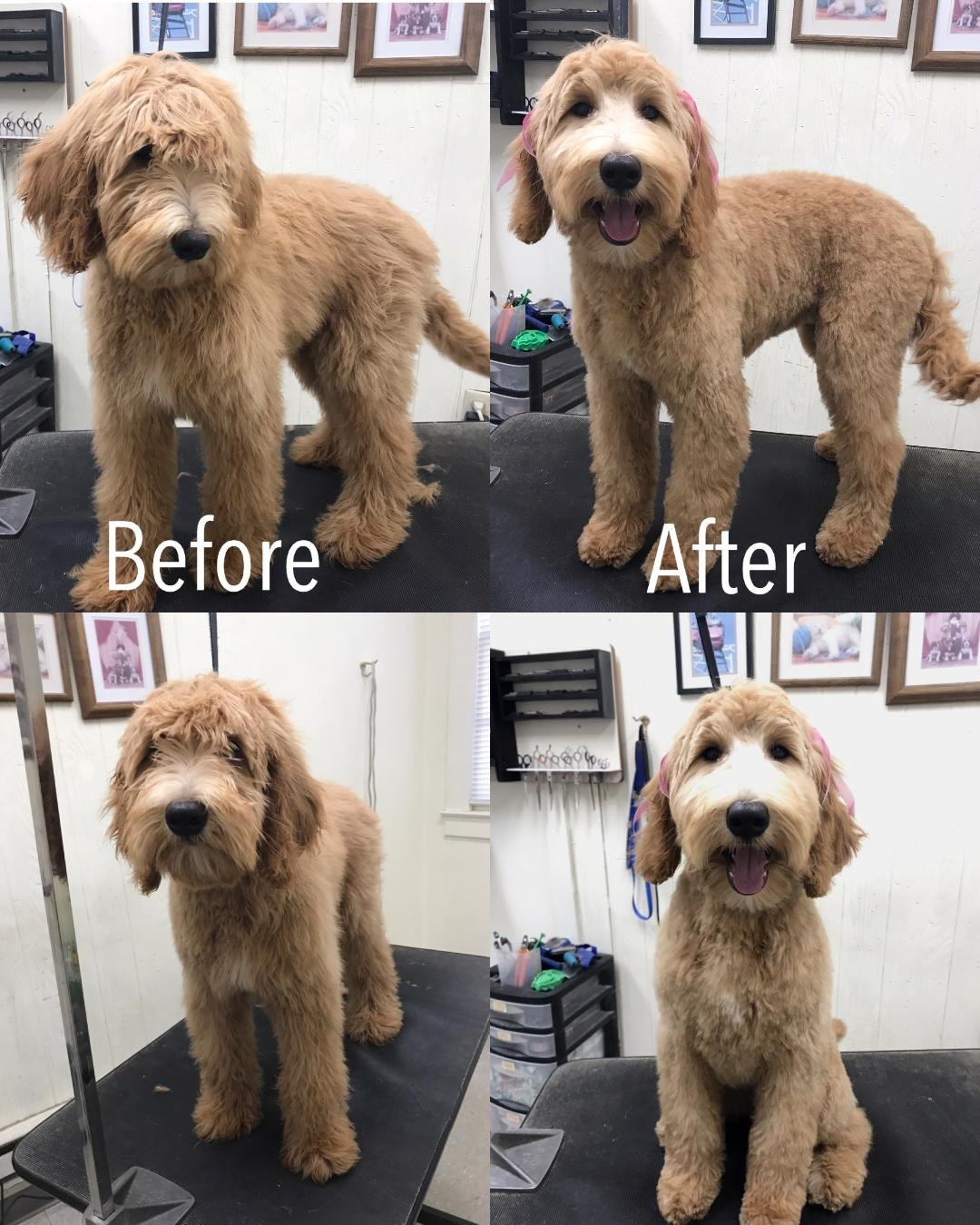 Grooming can be quite beneficial to a Labradoodle